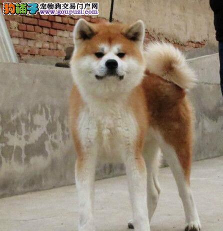 专业繁殖基地售纯种日系的东莞秋田犬 有国际证书芯片
