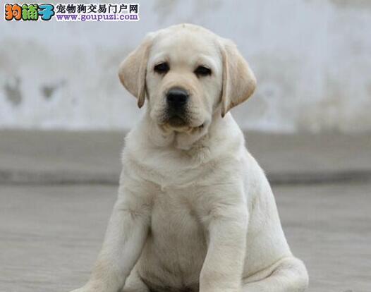 南京狗场出售极品拉布拉多犬 随时可上门看狗狗