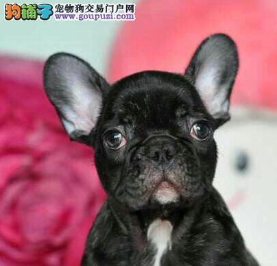多种颜色的赛级法国斗牛犬幼犬寻找主人以品质惊世人