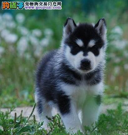 温州犬舍出售纯种健康哈士奇可办理血统证书