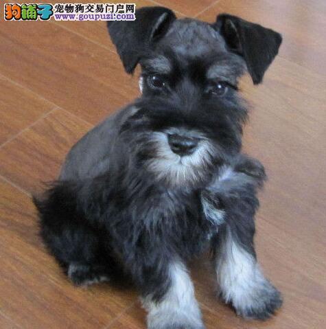 出售多种颜色朝阳纯种雪纳瑞幼犬价格美丽非诚勿扰