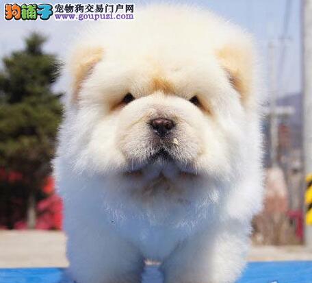 胖乎乎的十分可爱的绍兴松狮犬找新主人 保障身体健康