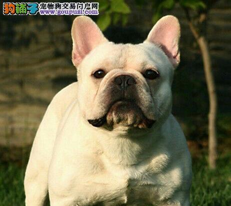 纯种法国斗牛犬CKU认证犬舍直销多只可以选择