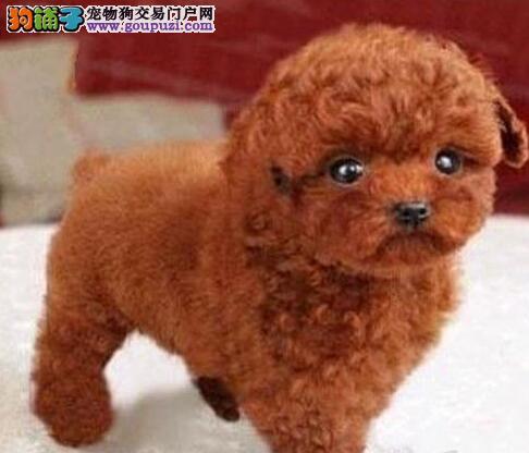 徐州实体犬舍出售实物拍摄的超小体泰迪犬 狗贩子勿扰