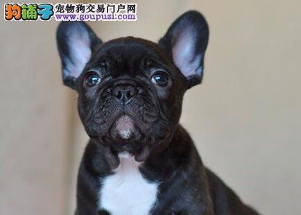 杭州法国斗牛犬多少钱,杭州哪里出售法国斗牛犬