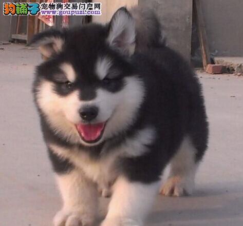 赛级阿拉斯加犬幼犬 完美品相 品质第一 等您接它回家