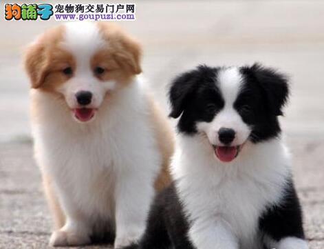 家养品相好的西宁边境牧羊犬出售疫苗驱虫已做