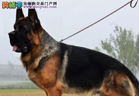 银川家养多只德国牧羊犬转让凶猛勇敢忠心
