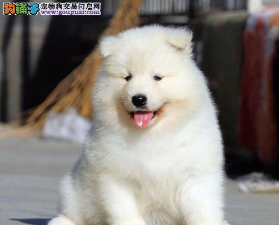 迷人眼球微笑萨摩耶天津热销 无异味 亮丽雪白的被毛