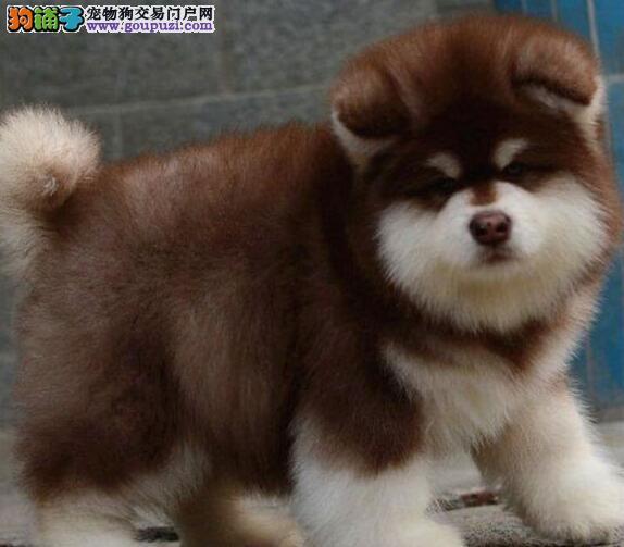 出售大骨架阿拉斯加雪橇犬 成都周边可送也可上门购买