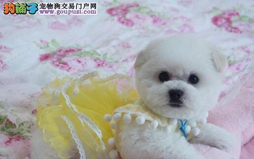 促销卷毛比熊犬 西城本地实体犬舍专业繁殖专业出售