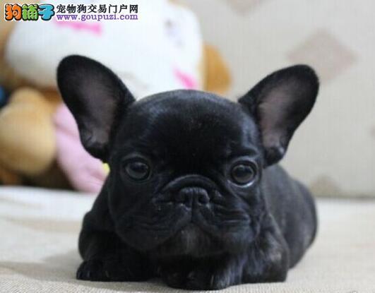 出售纯种健康的萍乡法国斗牛犬幼犬全国十佳犬舍