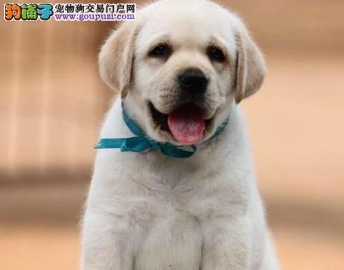 绍兴知名犬舍特价优惠出售拉布拉多犬 24小时售后热线