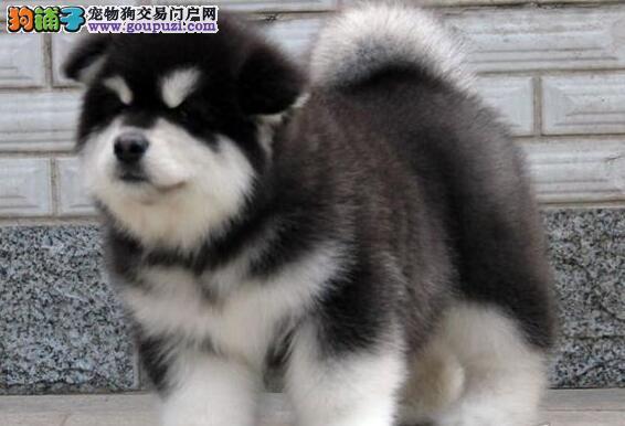纯种 巨型阿拉斯加雪橇犬 幼犬 宠物犬 出售