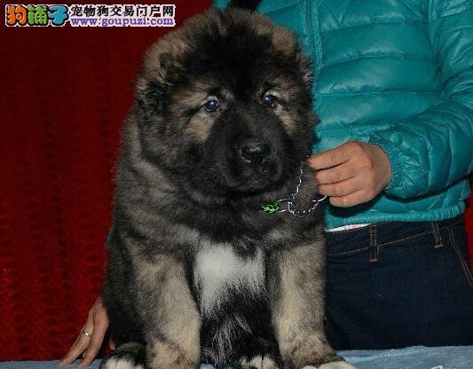 转让精品俄系济南高加索犬 可签订终身协议书