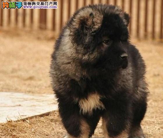广州那里有卖纯种高加索幼犬--贝尔犬业
