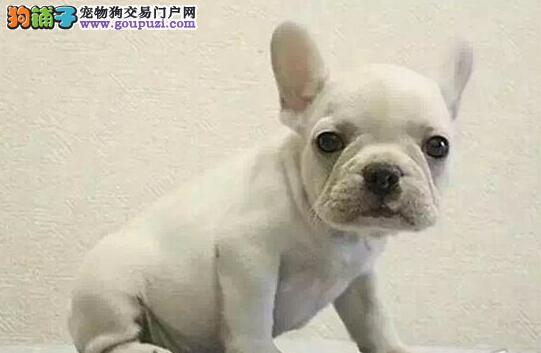 热卖法国斗牛犬宝宝,真实照片保纯保质,提供养护指导