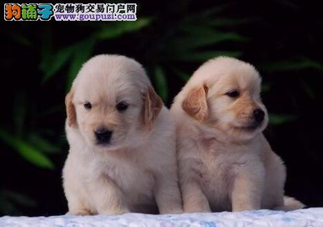 直销出售贵阳金毛犬 公母都有欢迎来犬舍实地考察购买