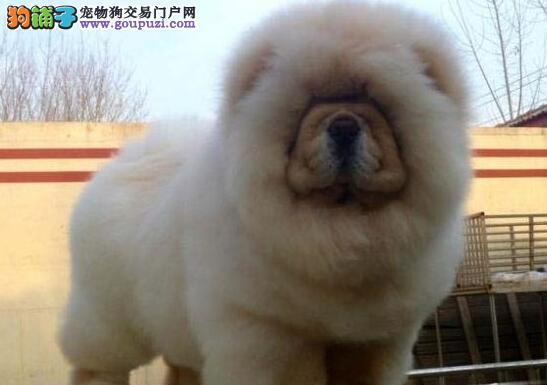 绍兴正规犬舍直销血统纯正的松狮犬 保证品质售后健康