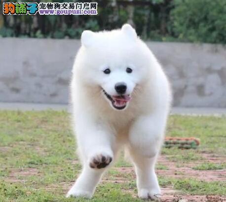 微笑天使般雪白色无杂毛的三亚萨摩犬找新家 非诚勿扰