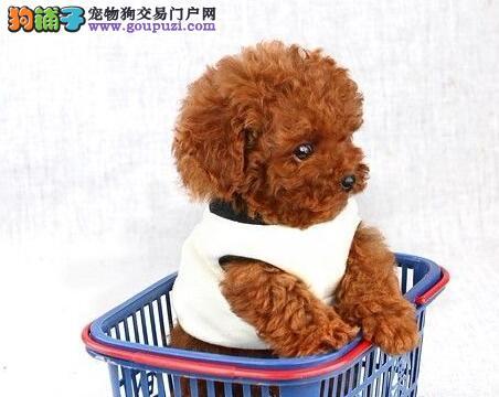 热销多只优秀的吴忠纯种泰迪犬幼犬假一赔万签活体协议