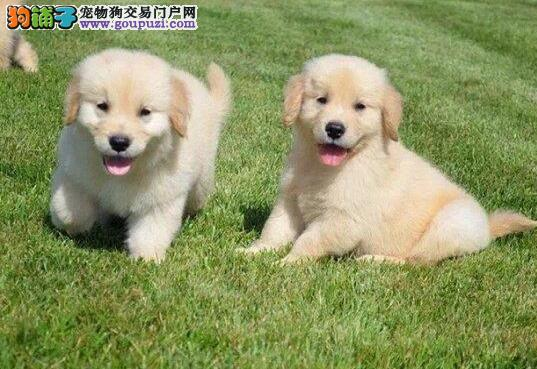 热销多只优秀的纯种金毛幼犬欢迎爱狗人士上门选购