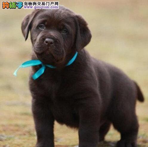 特别棒的拉布拉多长沙找新家了 购买可签正规购犬协议