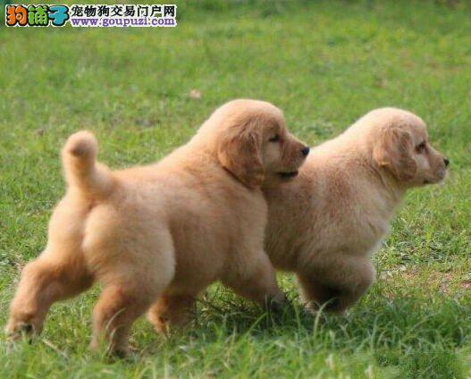 犬舍热销大骨架成都金毛犬 免费赠送养犬秘籍一套