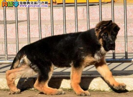 中山正规犬舍直销锤系德国牧羊犬 保证完美售后