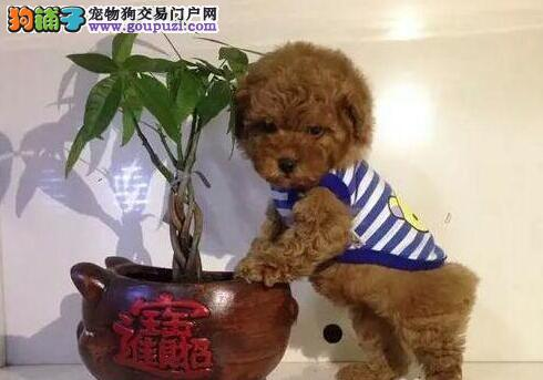 茶杯超小体的中山泰迪犬找新家 终身保障纯种健康