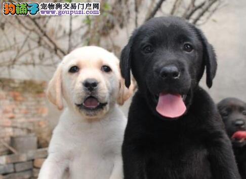 CKU犬舍认证上海出售纯种拉布拉多品质保障可全国送货