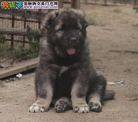 中山实体店面出售威猛帅气的高加索犬 保品质健康