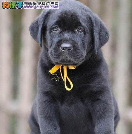 中山正规犬舍特价优惠售拉布拉多犬 保证健康纯种