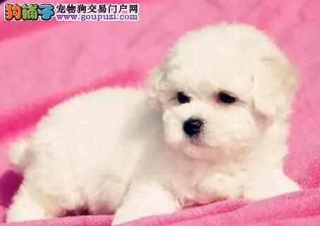 可爱纯种卷毛郑州比熊犬直销 棉花糖体保证血统纯正