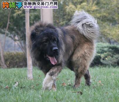 转让高品质俄系郑州高加索犬 毛色佳直系血统保纯度