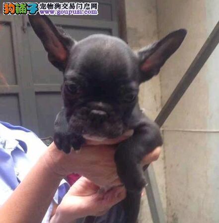 郑州专业养殖场直销大鼻筋斗牛犬 公母都齐全保健康