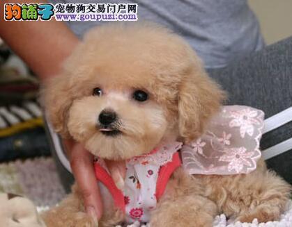 纯种泰迪犬宝宝找主人狗贩子请绕行