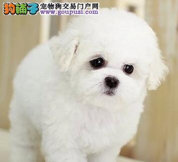 重庆那里有比熊出售 重庆那里有正规店出售比熊