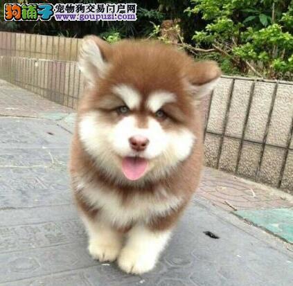 连云港本地出售高品质阿拉斯加犬宝宝办理血统证书