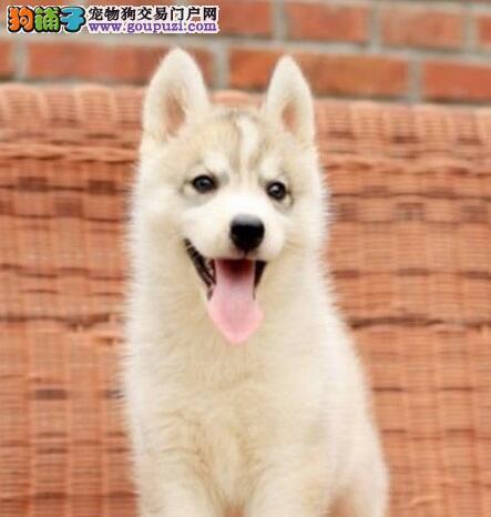 重庆正规繁育中心直销价出售蓝眼哈士奇 品相极佳