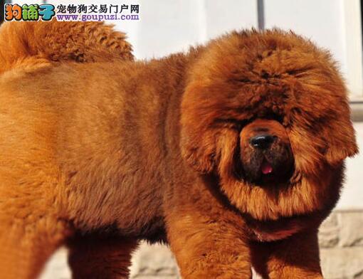 多种颜色的湘潭藏獒找爸爸妈妈保障品质一流专业售后