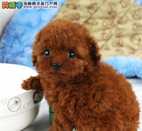 直销泰迪犬幼犬 CKU认证血统纯正 诚信经营保障