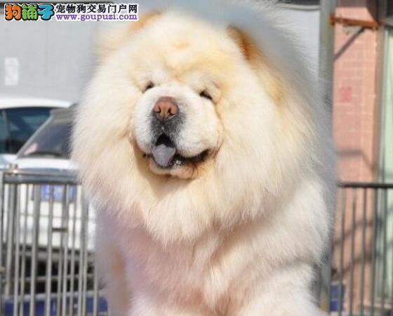CKC售纯种赛级松狮幼犬高品质纯血统