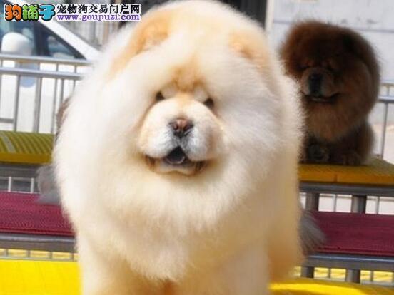 贵阳大型狗场出售品相好骨量足松狮犬 欢迎上门选购