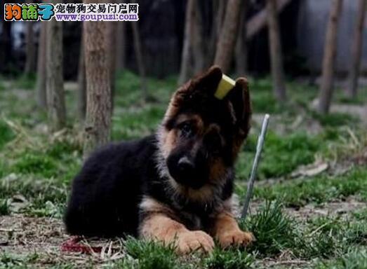 热销大头锤系贵阳德国牧羊犬 可办理血统证书支持货运