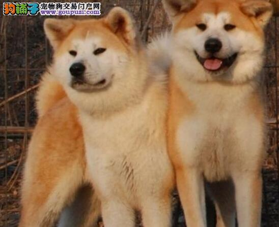 泉州专业繁殖基地出售日系秋田犬 可办理血统证书