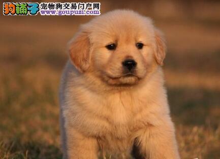 低价转让大骨架金毛犬 重庆狗场专业繁殖专业出售