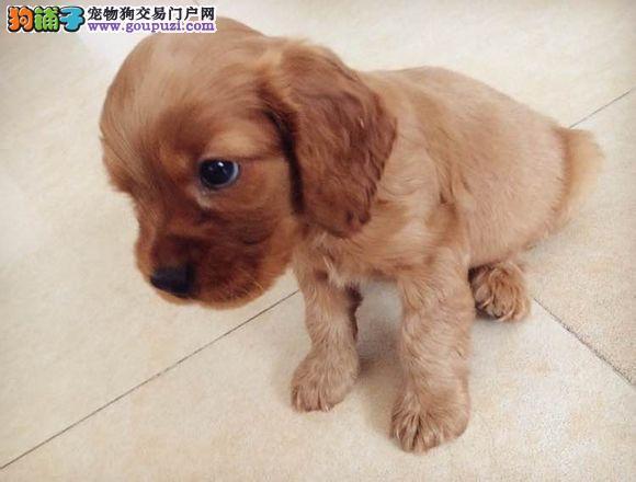 深圳哪里有出售可卡犬,买可卡去哪里买好