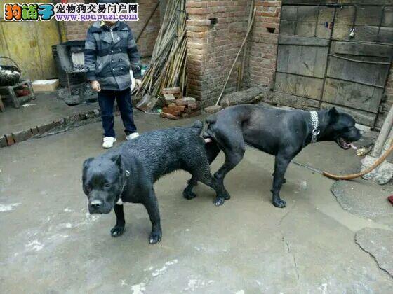 卡斯罗犬火爆销售中 纯度第一价位最低 提供养狗指导