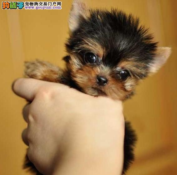 精品约克夏幼犬一对一视频服务买着放心爱狗人士优先狗贩勿扰
